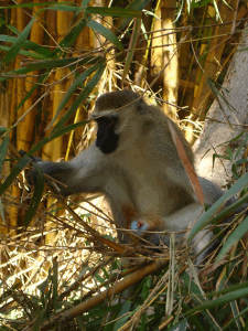 Male Vervet monkey with blue testicles rummages in the bamboo