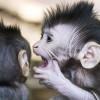 Sibling monkies whispers / Geschwisteraffen flüstern