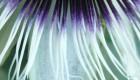 Passion Flower 3 - Passiflora edulis var. flavicarpa
